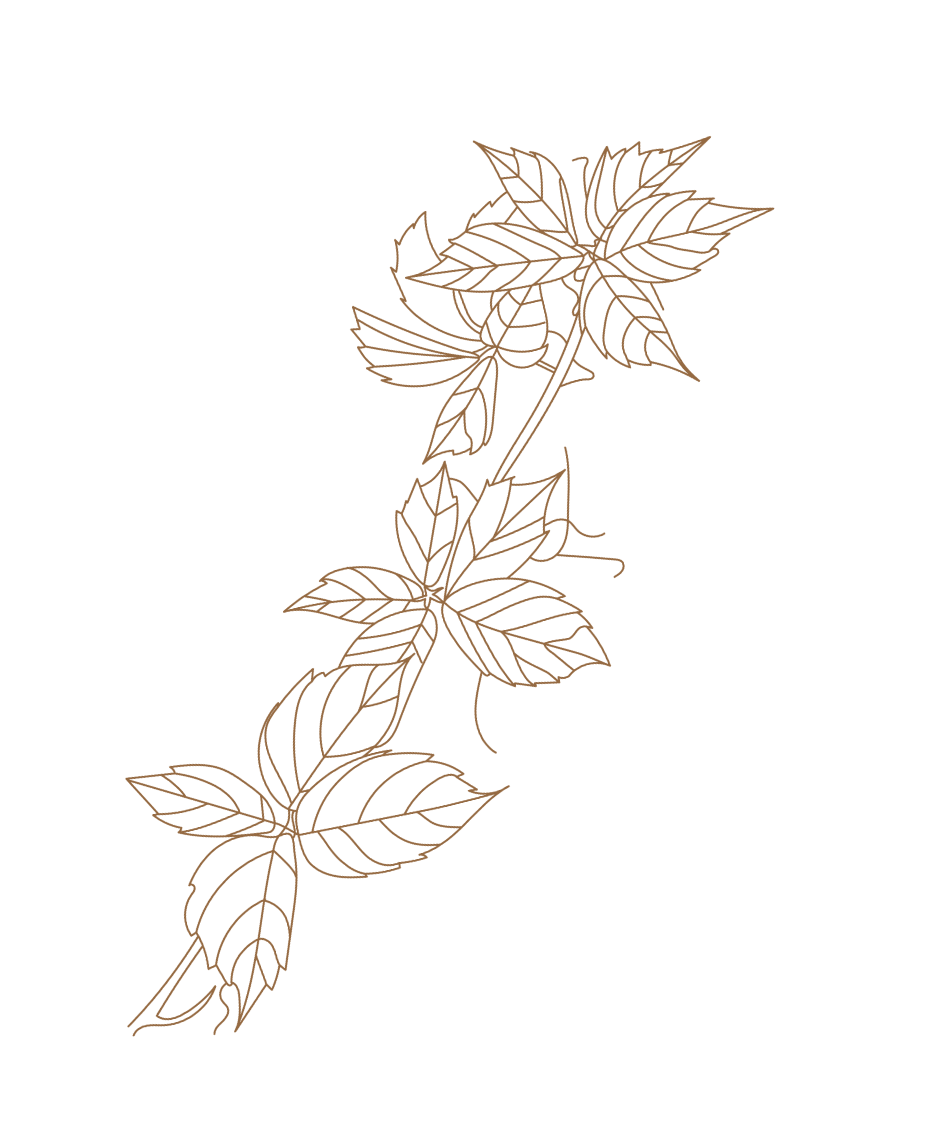 Illustration Vigne Rouge, Vitis Vinifera